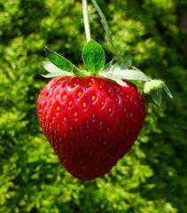 Erdbeere - reif - Erdbeere, Blütenpflanze, Frucht, Sammelnussfrucht, fragaria ananassa, Rosengewächs, Gartenerdbeere