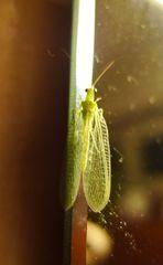 Florfliege - Netzflügler, Neuroptera, Florfliegen, Goldaugen, Chrysopidae, Blattlausjäger