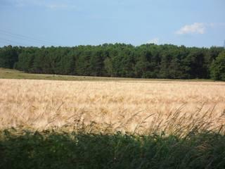 Gerste - Gerste, Korn, Feld, Sommer, Juni, Landwirtschaft, Getreide
