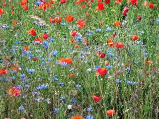 Sommerwiese#1 - Sommer, Juni, Wiese, Mohn, Kornblumen, Wiesenblumen
