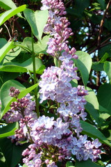 Flieder#2 - Flieder, Frühling, Jahreszeit, April, lila