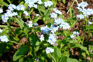Vergissmeinnicht - blau, Vergissmeinnicht, krautig, Pflanze