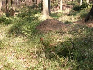 Ameisenhaufen - Ameisen, Ameisenhaufen, Ameise, Gewimmel, fleißig, klein, emsig, viele, schleppen, krabbeln, Wald