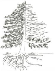 Tanne - Tanne, Baum, Bestandteile, Ast, Laub, Zweig, Ast, Krone, Stamm, Flachwurzel, Pfahlwurzel, Faserwurzel