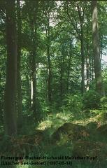 Flattergras-Buchenwald - Flattergras-Buchenwald, Galio-Fagetum luzuletosum, Pflanzengesellschaft, Waldtyp, Buchenwald, Buchenhochwald, Fagion sylvaticae, Wald, Vulkan, Basalt, Buche, Frühjahr, Stockwerke