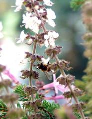 Biene an Basilikumblüte#2 - Biene, Blüte, Basilikum, Insekt, Hautflügler, sammeln