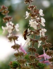 Biene an Basilikumblüte#3 - Biene, Basilikum, Insekt, Blüte, Hautflügler, sammeln