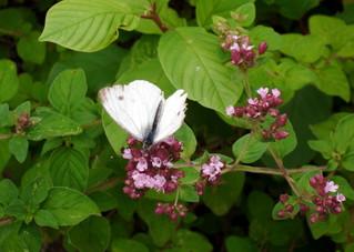 Schmetterling#2 - Schmetterling, Blüte, Kohlweißling, Insekt