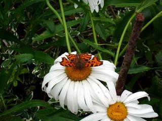Schmetterling#3 - Schmetterling, Insekt, Blüte, Sommer, Natur