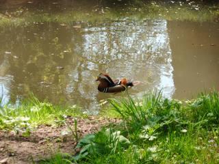 Mandarinente - Ente, Vogel, Wasservogel