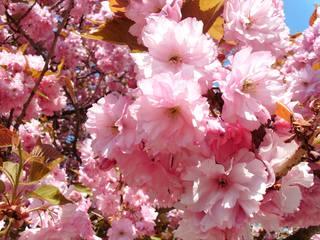 Japanische Blütenkirsche#3 - Blüte, Frühling, rosa, blühen, Japanische Kirsche