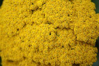was_ist_das #Pflanzen - Blüte, Sommer, Gelb, Goldgarbe, Pflanze, Kraut