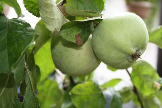 Apfelzweig - Apfel, Äpfel, Kernobstgewächs, Rosengewächs, Obst, Frucht