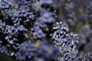 was_ist_das #Pflanzen - Lavendel, Blume, Duftblume, Lippenblütler, Heilpflanze, Duftpflanze, Duft