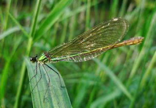 Libelle grün - Libelle, fliegen, Flügel, Hautflügel, Biologie, Insekten, Gliederfüßler, Insekt, Flügelpaar, Gewässer