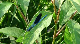 Gebänderte Prachtlibelle (Calopterix splendens). - Libelle, fliegen, Flügel, Hautflügel, Insekten, Gliederfüßer, Insekt, Flügelpaar, Gewässer