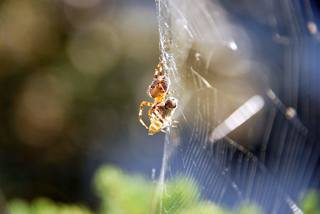 Kreuzspinne#1 - Spinne, Kreuzspinne, Spinnennetz, Webspinne, Radnetzspinne, Beute
