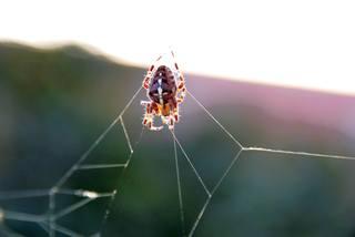 Kreuzspinne2# - Spinne, Kreuzspinne, Spinnennetz, Webspinne, Radnetzspinne, Beute, spinnend
