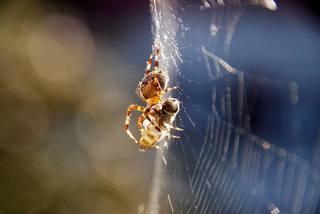 Kreuzspinne#3 - Spinne, Kreuzspinne, Spinnennetz, Webspinne, Radnetzspinne, Beute, fressen