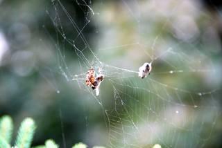 Kreuzspinne#5 - Spinne, Kreuzspinne, Spinnennetz, Webspinne, Radnetzspinne, Beute, spinnen, Nahrung, Lebensweise