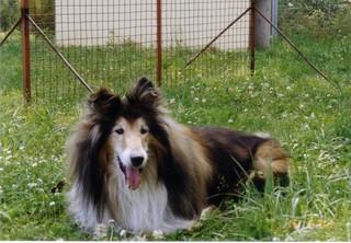 ein Hund - Tier, Haustier, Hund, Collie