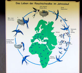 Rauchschwalben #2 - Schwalben, Rauchschwalben, Zugvogel, Jahr, Jahresablauf, Nestbau, Heimkehr, Brutzeit, Vogel