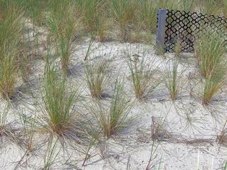 Strandhafer an der Ostsee - Strandhafer, Ostsee, Dünen, Schutz, Erosion, Pflanze, Naturschutz