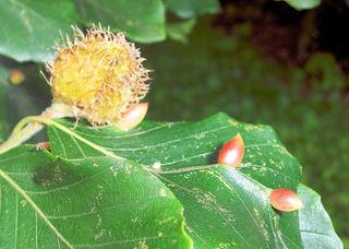 Gallen der Buchengallmücke#2 - Buchen, Buche, Gallen, Gallmücke, Schädling, Insekt, Schmarotzer