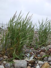 Strandhafer - Hafer, Ostsee, Strandhafer, Pflanze, Gewächs, Strand