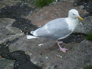 Möwe - Möwe, Wasservogel