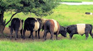 Rinderrasse Belted Galloways - Rinder, Rind, Kuh, Kühe, Rasse, Galloways, Landwirtschaft, Vieh, Herde, Milchvieh, Fleisch, Zucht, Tiere