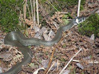 Ringelnatter - Ringelnatter, Schlange, Natter, Kriechtier, Reptil