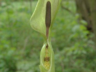 Aronstab als Insektenfalle - Aronstab, Insektenfalle, Bau der Blüte
