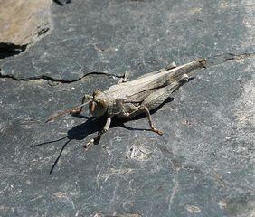 Rotflügelige Ödlandschrecke #1 - Heuschrecke, Kurzfühlerschrecke, Feldheuschrecke