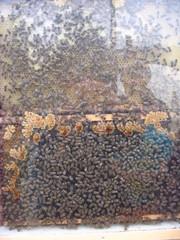 Bienenwabe - Biene, Bienen, Wabe, Honig, Imme, Bienenvolk, Bienenstaat, fleißig, Hautflügler, Insekten, Apiformes, Stachel, stechen, Struktur, Ballung