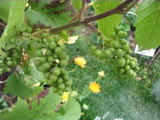Weinrebe - Wein, Traube, grün, Wein, Weinlese, Weinrebe, Rebe, Landwirtschaft, Weinbau, Trauben, Weintrauben, Herbst