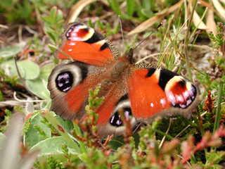 Pfauenauge - Schmetterling, Pfauenauge, Tagpfauenauge, Falter, flattern