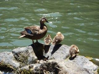 Ente mit Jungen - Ente, Entenküken, Entenfamilie