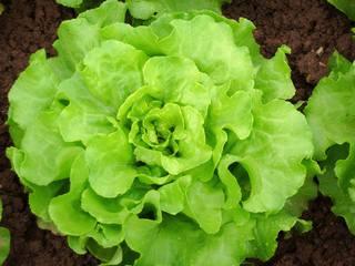 Kopfsalat #1 - Salat, Kopfsalat, Salatkopf, Pflanze, Häuplsalat, Häuptelsalat, Häupelsalat