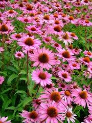 Sonnenhut  - Sonnenhut, Echinacea, Stauden, Bundesgartenschau, rosa, Blume, Pflanze, Buga