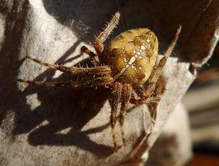Gartenkreuzspinne #1 - Spinne, Kreuzspinne, Webspinne, Radnetzspinne