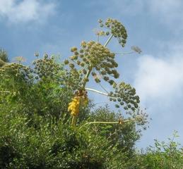 Bärenklau - Pflanzen, Herkulesstraude, Dolde, Herkulesstaude, Herkuleskraut, Doldenblütler, Blüten-Doppeldolden