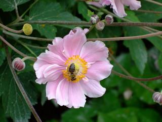 Honigbiene - Biene, Nektar, Honigbiene