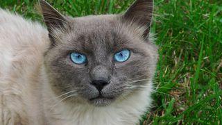 Katze - Katze, Siamkatze, Rassekatze, Kurzhaarkatze