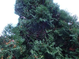 Spinnennetz mit Regentropfen#3 - Spinne, Spinnennetz, Regentropfen