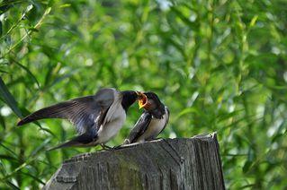 Schwalben  - Schwalbe, Vogel, Fütterung, füttern, Jungtier, fliegen, Schnabel, Flügel