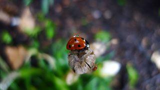 Marienkäfer - Käfer, Insekten, Marienkäfer, Nützling, halbkugelig, Deckflügel, Glückssymbol, Schädlingsbekämpfer