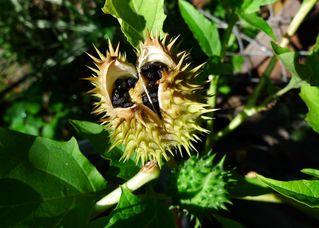 Stechapfel - Stechapfel, weißer Stechapfel, Hildegard von Bingen, Nachtschattengewächs, giftig, halluzinogen, Samenkapsel, Samen