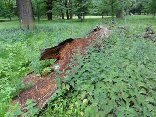 Baum2 - Baum, morsch, abgestorben verrotten, morsch, Brennnesseln, Eiche, vergänglich, Wald, Kreislauf