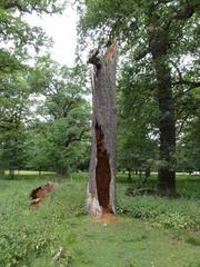 Baum3 - Baum, morsch, abgestorben, verrotten, morsch, Brennnesseln, Eiche, vergänglich, Wald, Kreislauf, Brennnesseln
